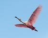 Roseate Spoonbill Flight-3