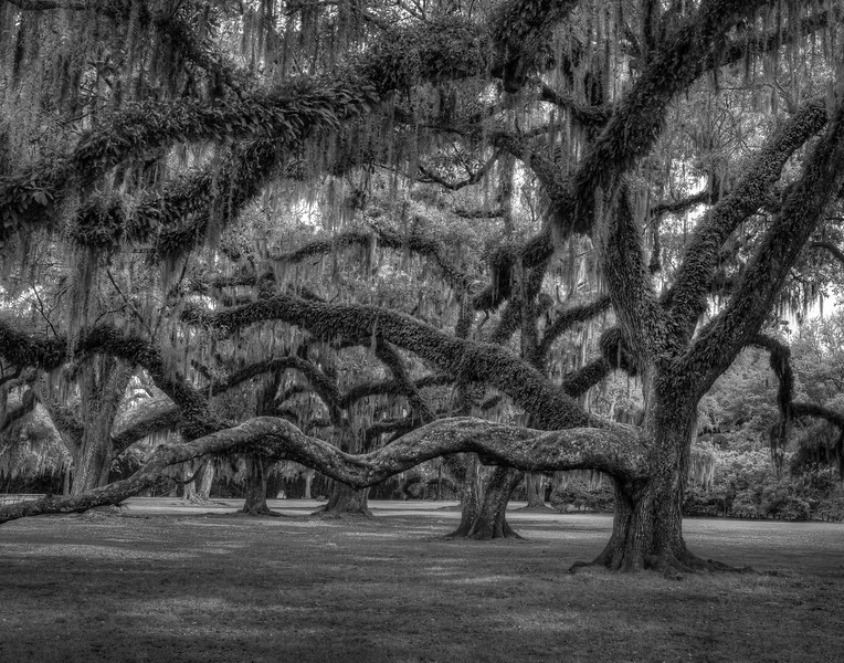 Live Oaks of Avery Island