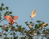 Roseate Spoonbill Cattle Egret Combo