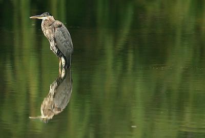 Great Blue Heron - Detroit River, MI