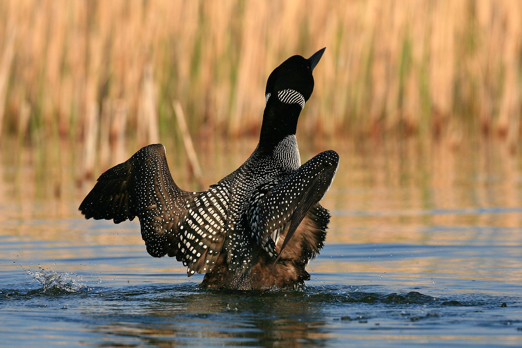 Common Loon - Wright County, Minnesota