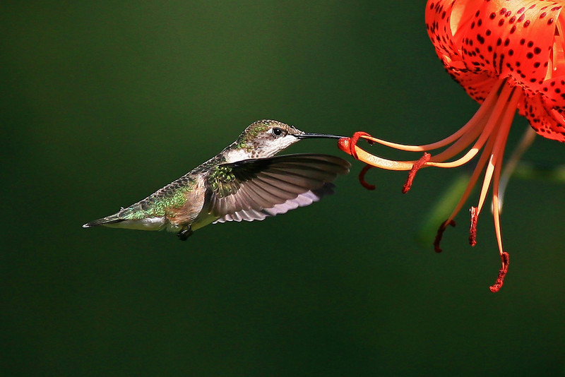Hummingbird - Dakota County, MN