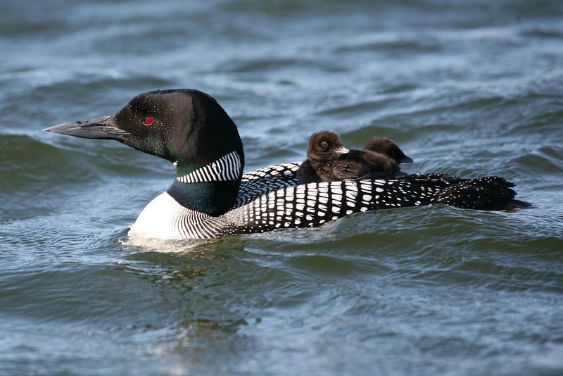 Common Loon - Clearwater, MN