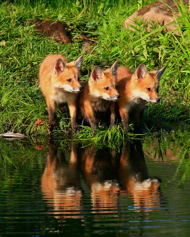 Red Fox Pups - Northern, Minnesota