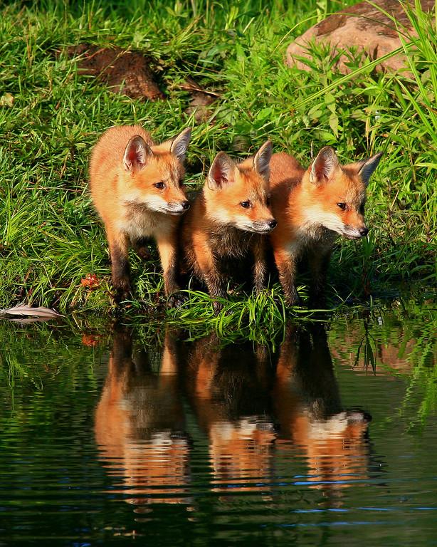 Red Fox Pups - Northern, Minnesota