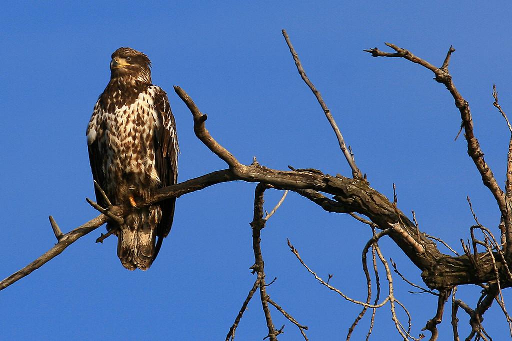 Juvenile Bald Eagle - Burnsville, MN