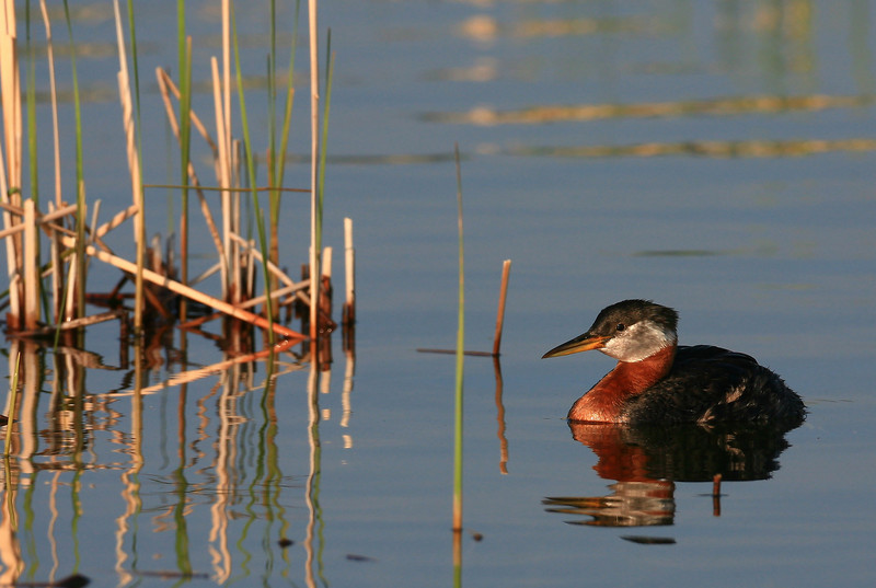 Red-Necked Grebe (Podiceps grisegena) - Wright County, Minnesota