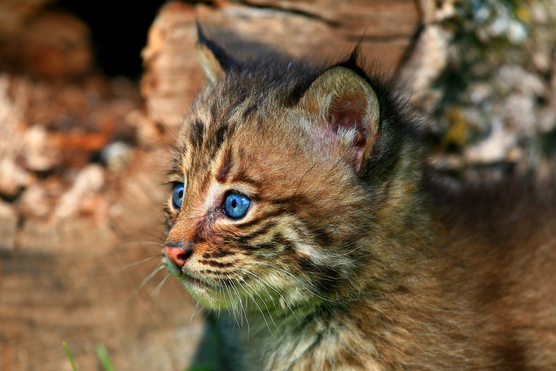 Bobcat Kitten - Northern Minnesota