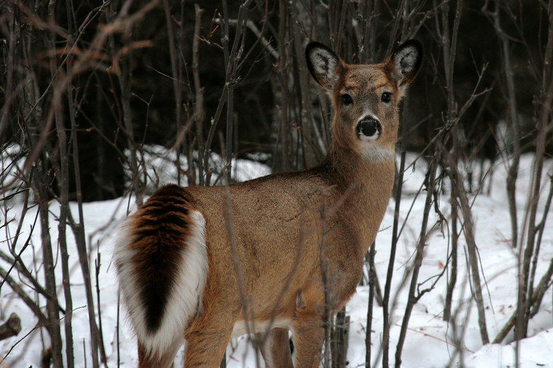 White-Tailed Deer - Minnesota's Northshore
