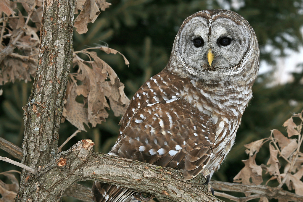 Barred Owl - Strix Varia : Houston County, Minnesota