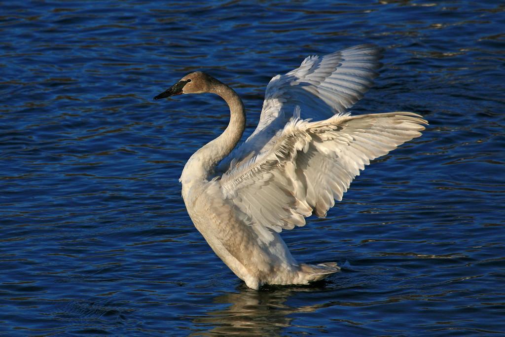 Trumpeter Swan - Monticello, Minnesota