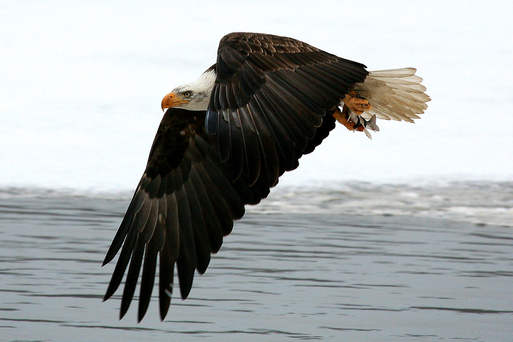 Bald Eagle - Minnesota River, Minnesota