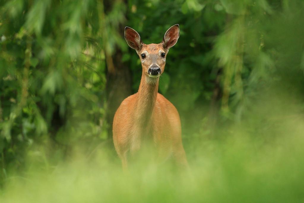 White-tailed Deer - Minnesota