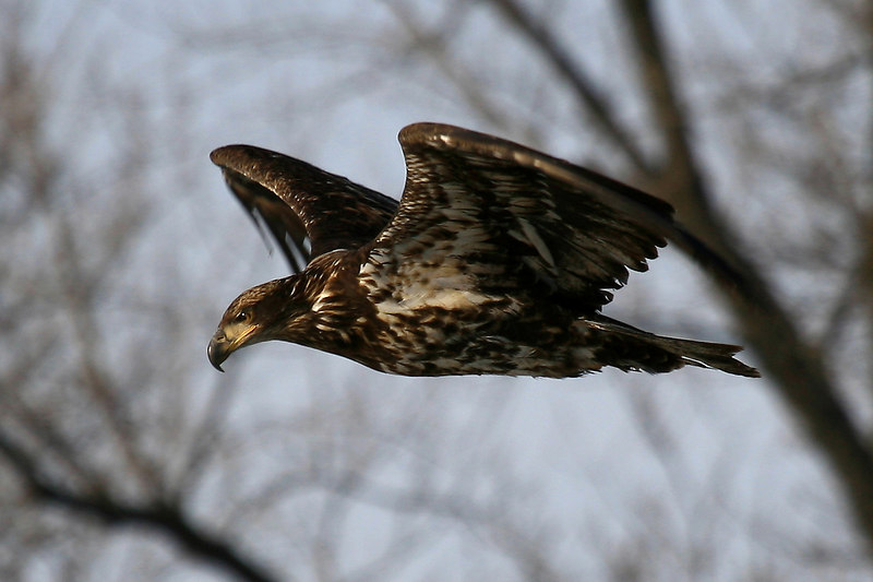 Juvenile Bald Eagle - Burnsville, MN