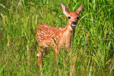 White-tailed Fawn - Northern Minnesota