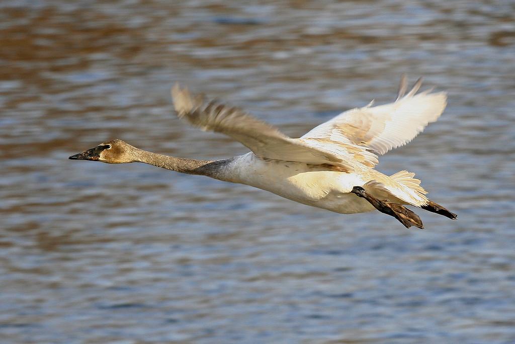 Trumpeter Swan - Monticello, MN