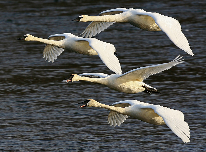 Trumpeter Swans - Monticello, Minnesota