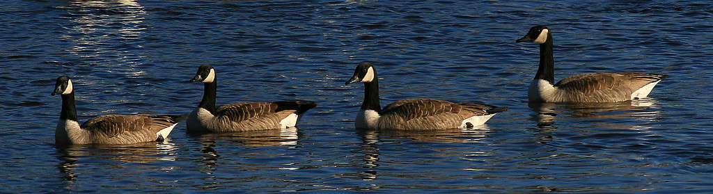 Canadian Geese - Monticello, MN