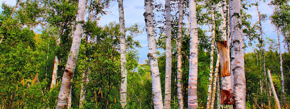 Gooseberry Falls Birch Panoramic - Great for a Larger Panoramic Print