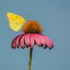 Sulphur Butterfly On Purple Coneflower