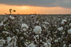 Cotton at Sunset