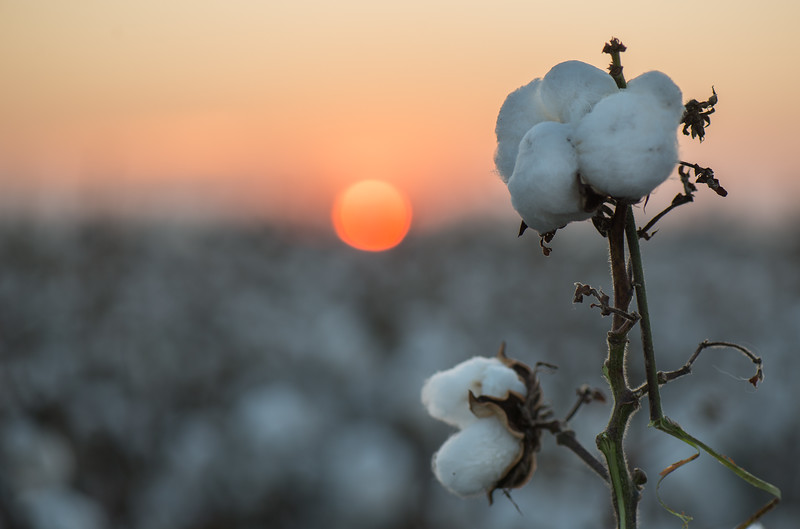 Cotton Bloom And Sunrise