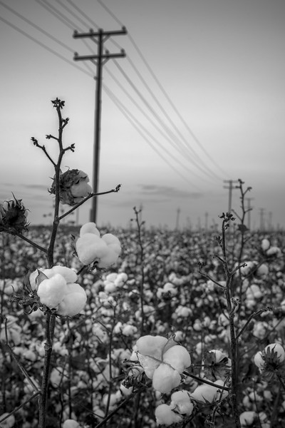 Powerlines and Cotton