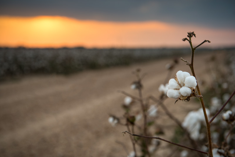 Cotton Sunset