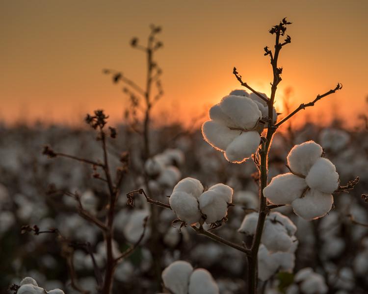 Cotton Glow Sunset