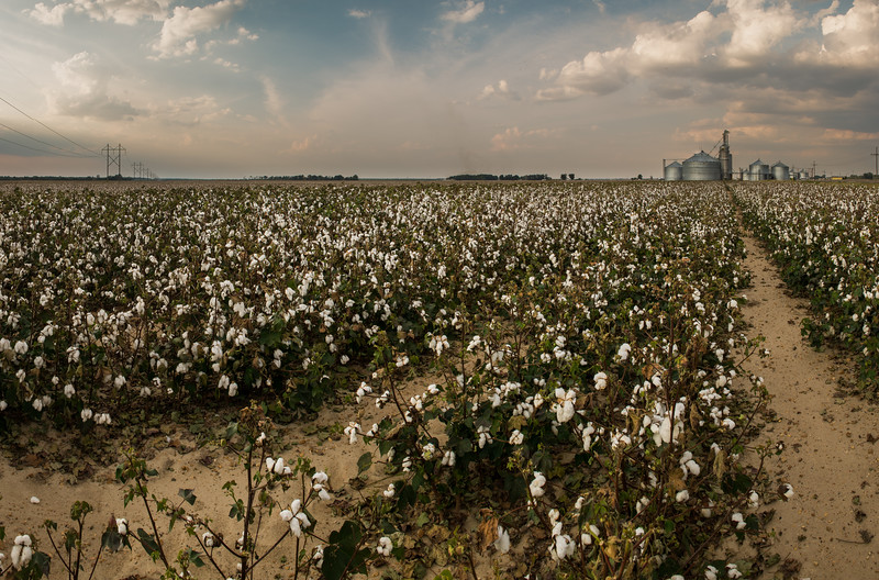 Cotton Field and Cotton Gin
