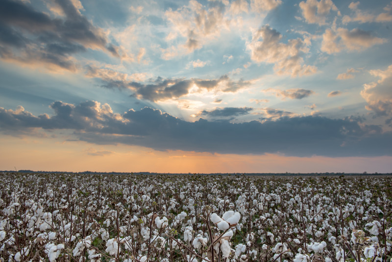 The Land of Cotton Sunset