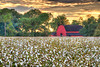 Red Barn Surrounded by Mississippi Cotton