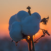 Cotton Boll Backlit With Sunset