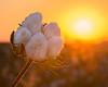 Cotton Boll Sunrise