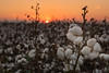 Delta Cotton Sunset in Anguilla Mississippi