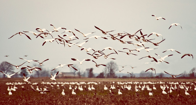 Flock Of Snow Geese - It is always amazing to see the flocks of geese migrating. This image was taken in Isola Mississippi.