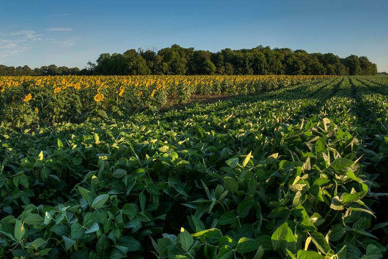 Sunflowers And Soybeans
