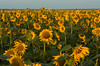 Sunflowers at Mahannah WMA