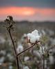 Cotton Boll Twilight