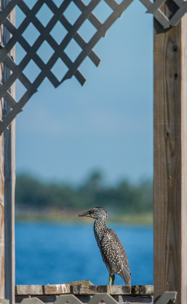 Black-Crowned Night Heron - Taken at Back Bay Biloxi, Mississippi