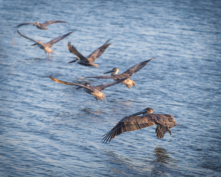 Pelicans Movin' Out