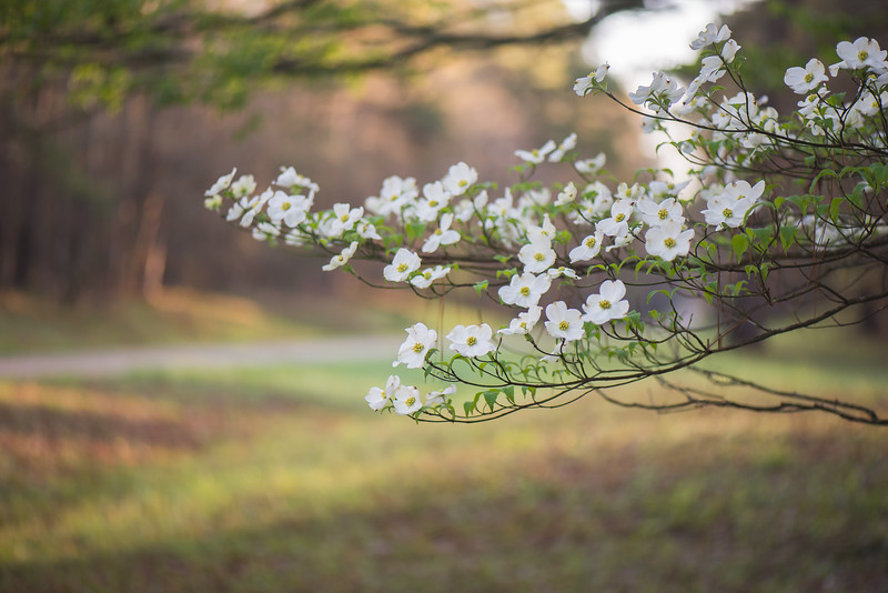 Dogwoods At The Trace
