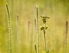 Grasshopper on Rosin-weed