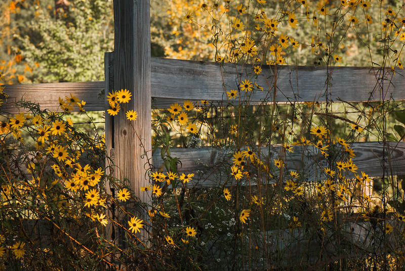 Fence Covered With Black-eyed Susans