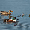 Northern Shoveler Pair - These ducks were very hard to photograph because they were quite camera shy.