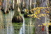 Fall Leaves at the Cypress Swamp