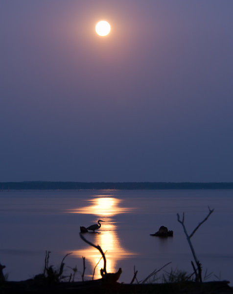 Heron Under the Moon - Taken at the Ross Barnette Reservoir at mile marker 113 in Madison County Mississippi along the Natchez Trace Parkway.