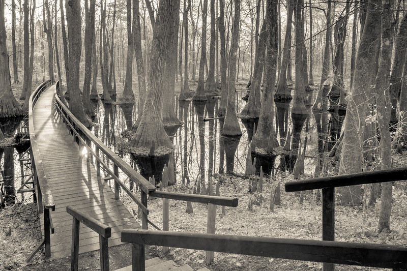 Cypress Swamp in Infrared