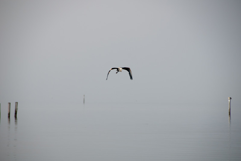 Heron Flying through the Fog