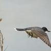 Eastern Kingbird in Flight